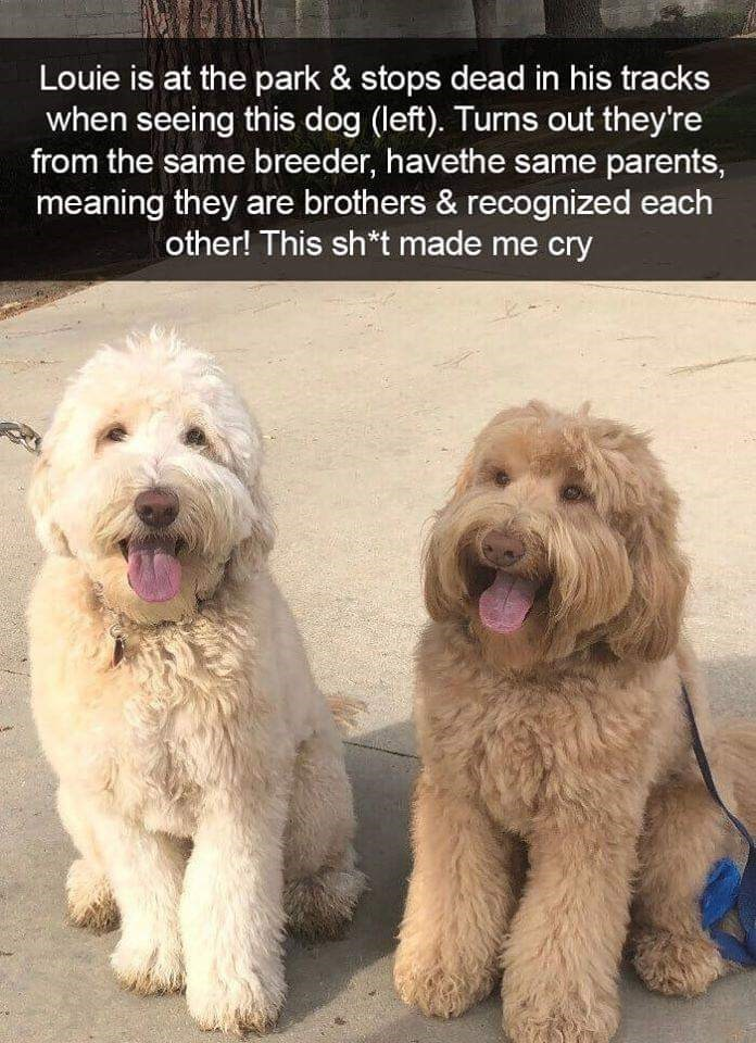 Dog - Louie is at the park & stops dead in his tracks when seeing this dog (left). Turns out they're from the same breeder, havethe same parents, meaning they are brothers & recognized each other! This sh*t made me cry