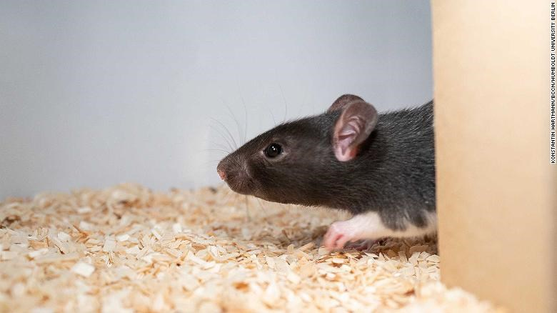 scientists find that rats love to play hide and seek