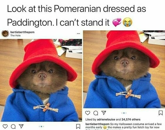 Guinea pig - Look at this Pomeranian dressed as Paddington. I can't stand it bertiebertthepom The Hole Liked by adrienelouise and 34,574 others bertiebertthepom So my Halloween costume arrived a few Wmonths early tho makes a pretty fun fetch toy for now