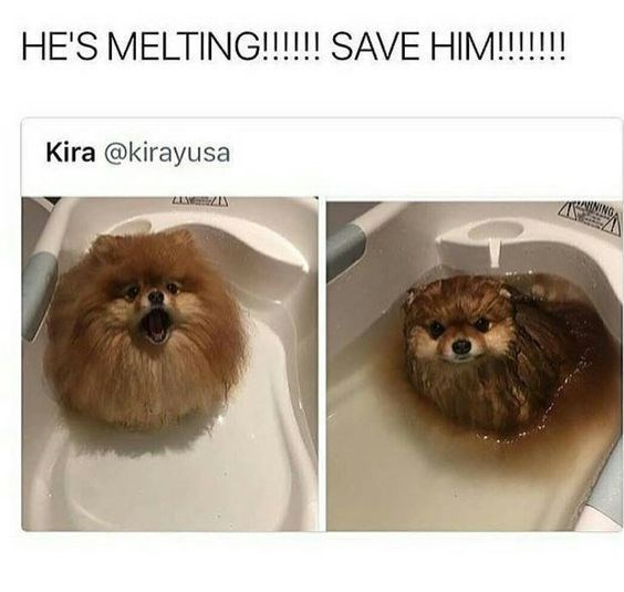 Pomeranian - HE'S MELTING!!!!! SAVE HIM!!!!! Kira @kirayusa