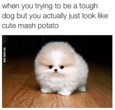 Mammal - when you trying to be a tough dog but you actually just look like cute mash potato VIA 9GAG.COM