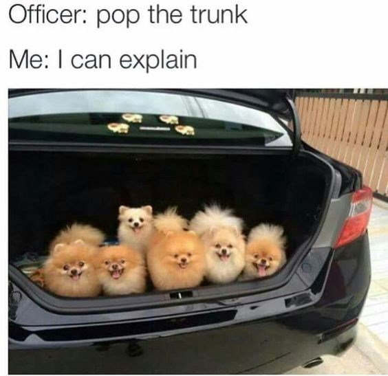 Pomeranian - Officer: pop the trunk Me: I can explain