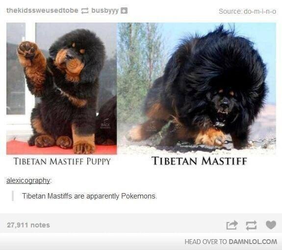 Dog - thekidssweusedtobe busbyyy Source: do-m-i-n-o TIBETAN MASTIFF TIBETAN MASTIFF PUPPY alexicography Tibetan Mastiffs are apparently Pokemons 27,911 notes HEAD OVER TO DAMNLOLCOM