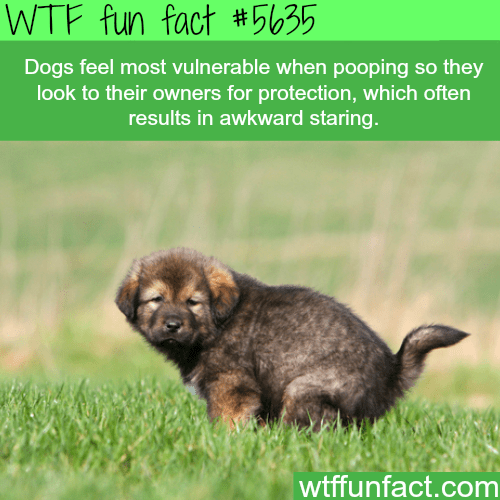 Mammal - WTF fun fact #5635 Dogs feel most vulnerable when pooping so they look to their owners for protection, which often results in awkward staring. wtffunfact.com