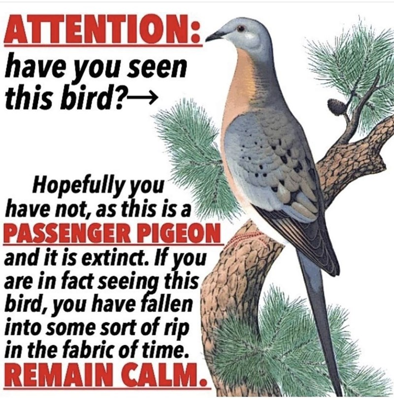 Bird - ATTENTION: have you seen this bird? Hopefully you have not, as this is a PASSENGER PIGEON and it is extinct. If you are in fact seeing this bird, you have fallen into some sort of rip in the fabric of time. REMAIN CALM.