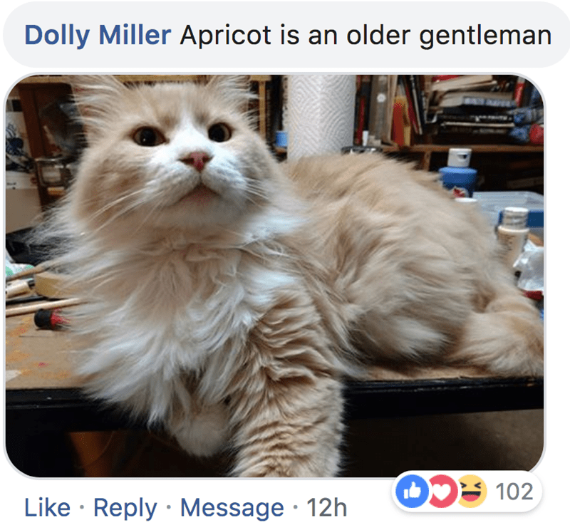Cat - Dolly Miller Apricot is an older gentleman 102 Like Reply Message 12h