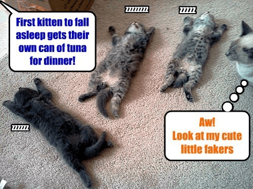 Cat - 2Z777 First kitten to fall asleep gets their Own can of tuna for dinner! Aw! Look at my cute little fakers OO0