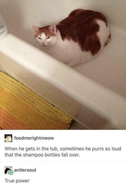 Cat - feedmerightmeow When he gets in the tub, sometimes he purrs so loud that the shampoo bottles fall over. antlersout True power