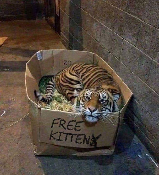 Tiger - FREE KITTENS