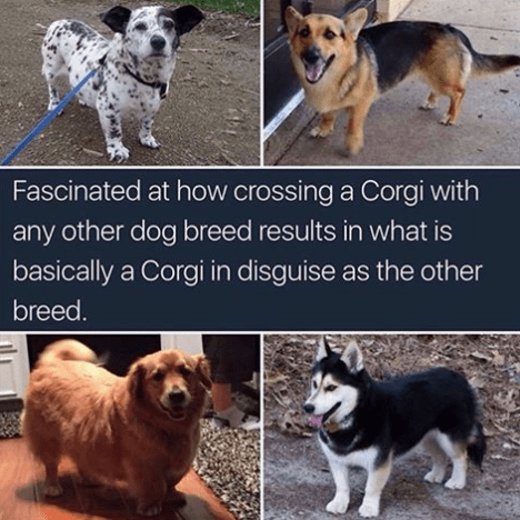 meme - Dog - Fascinated at how crossing a Corgi with any other dog breed results in what is basically a Corgi in disguise as the other breed.