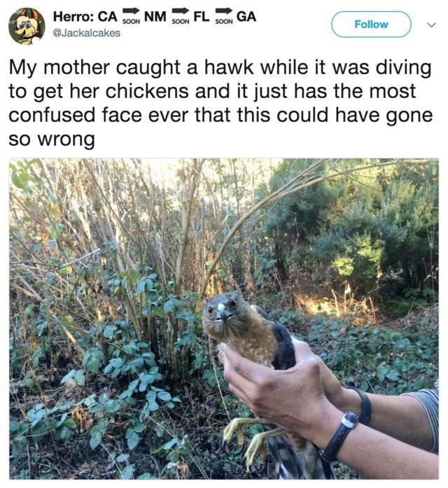 Gopher - Herro: CA S0M NM FL GA SOON Follow @Jackalcakes My mother caught a hawk while it was diving to get her chickens and it just has the most confused face ever that this could have gone so wrong