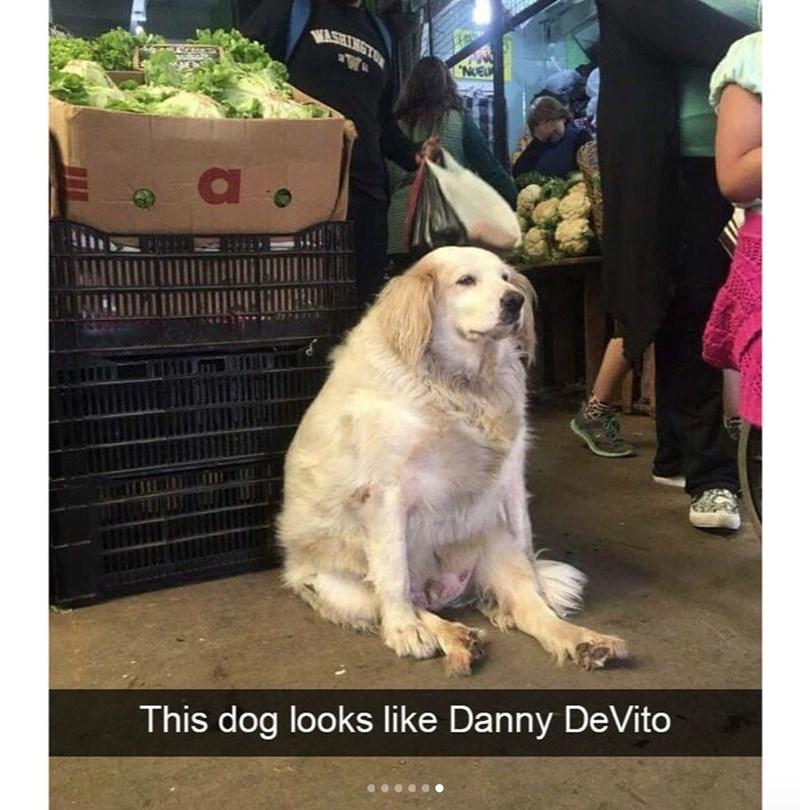 Dog - VASHINGTON NOEU This dog looks like Danny DeVito