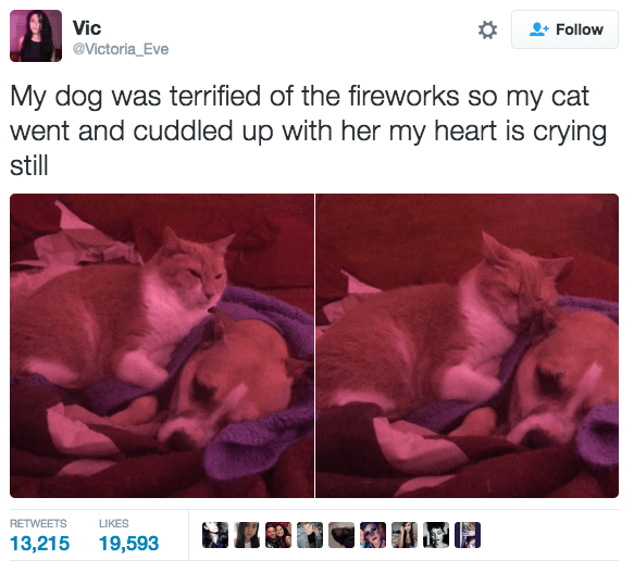 Text - Vic Follow @Victoria_Eve My dog was terrified of the fireworks so my cat went and cuddled up with her my heart is crying still RETWEETS LIKES 13,215 19,593