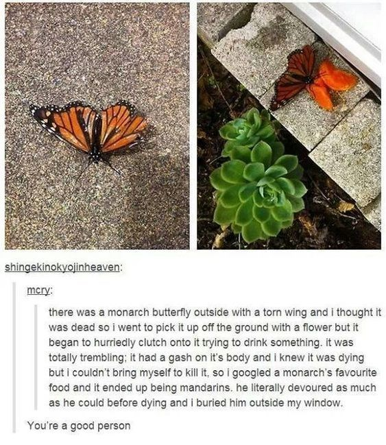 wholesome meme - Butterfly - shingekinokyojinheaven: mcry: there was a monarch butterfly outside with a torn wing and i thought it was dead so i went to pick it up off the ground with a flower but it began to hurriedly clutch onto it trying to drink something. it was totally trembling; it had a gash on it's body and i knew it was dying but i couldn't bring myself to kill it, so i googled a monarch's favourite food and it ended up being mandarins