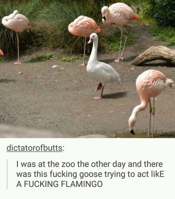 Flamingo - dictatorofbutts: I was at the zoo the other day and there was this fucking goose trying to act likE A FUCKING FLAMINGO