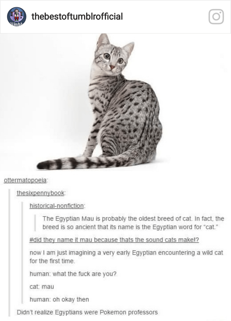"""Cat - thebestoftumblrofficial tof umbl ottermatopoeia thesixpennybook historical-nonfiction: The Egyptian Mau is probably the oldest breed of cat. In fact, the breed is so ancient that its name is the Egyptian word for """"cat. #did they name it mau because thats the sound cats makel? now I am just imagining a very early Egyptian encountering a wild cat for the first time human: what the fuck are you? cat: mau human: oh okay then Didn't realize Egyptians were Pokemon professors"""
