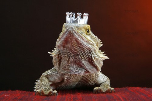 lizards cute hat beard dragons - 92677
