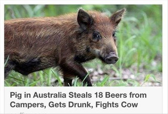 Vertebrate - Pig in Australia Steals 18 Beers from Campers, Gets Drunk, Fights Cow