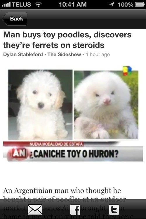 Canidae - 10:41 AM 100% TELUS Вack Man buys toy poodles, discovers they're ferrets on steroids Dylan Stableford The Sideshow 1 hour ago NUEVA MODALIDAD DE ESTAFA AN ECANICHE TOYO HURON? An Argentinian man who thought he bought a painef poodles at an outdoor market enos Aiorought home to the vel onlyIOne told thev were