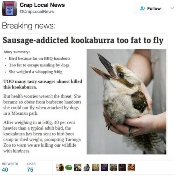 Text - Crap Local News eCrapLocalNews Follow Breaking news: Sausage-addicted kookaburra too fat to fly Story summary Bird became fat on BBQ handouts Too fat to escape mauling by dogs She weighed a whopping 540g TOO many tasty sausages almost killed this kookaburra. But health wonries weren't the threat. She became so obese from barbecue handouts she could not fly when attacked by dogs in a Mosman park. After weighing in at 540g, 40 per cent heavier than a typical adult bird, the kookabura has be