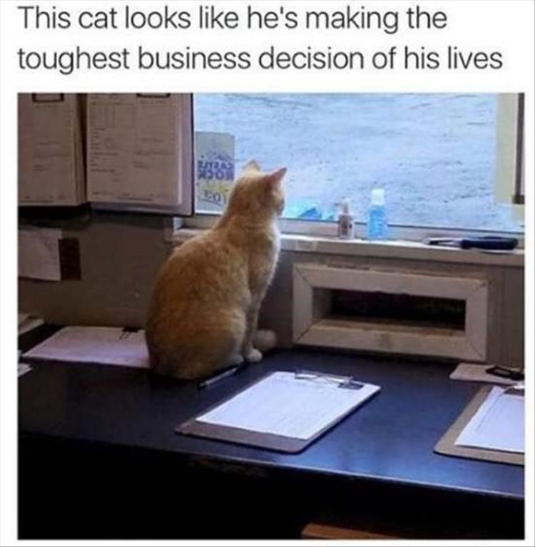 caturday - Cat - This cat looks like he's making the toughest business decision of his lives 1RA