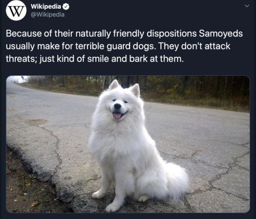 Mammal - Wikipedia W@Wikipedia Because of their naturally friendly dispositions Samoyeds usually make for terrible guard dogs. They don't attack threats; just kind of smile and bark at them.