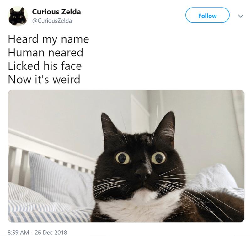 Cat - Curious Zelda Follow @CuriousZelda Heard my name Human neared Licked his face Now it's weird 8:59 AM 26 Dec 2018