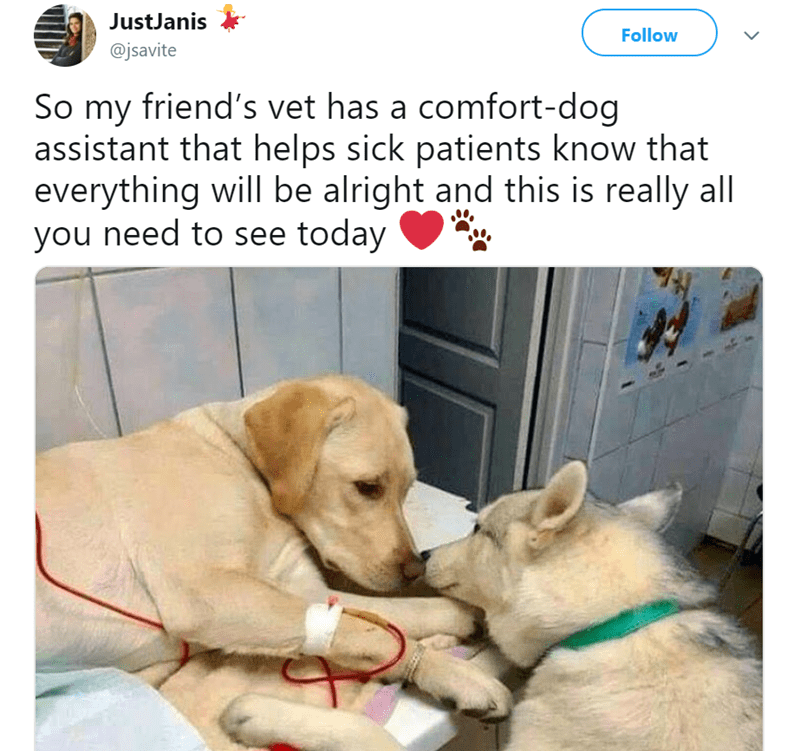 Dog - JustJanis Follow @jsavite So my friend's vet has a comfort-dog assistant that helps sick patients know that everything will be alright and this is really all you need to see today