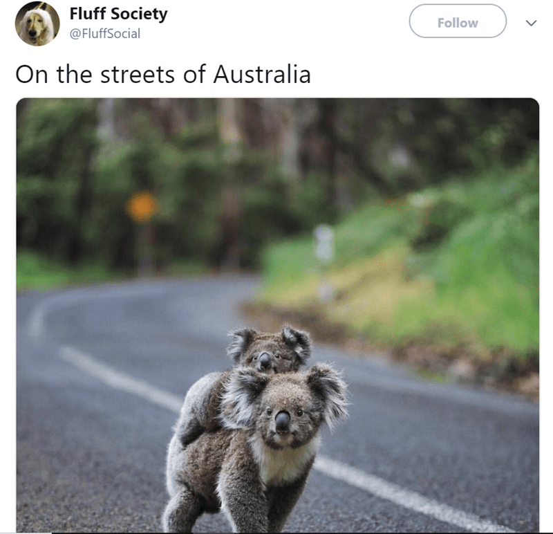 Canidae - Fluff Society Follow @FluffSocial On the streets of Australia