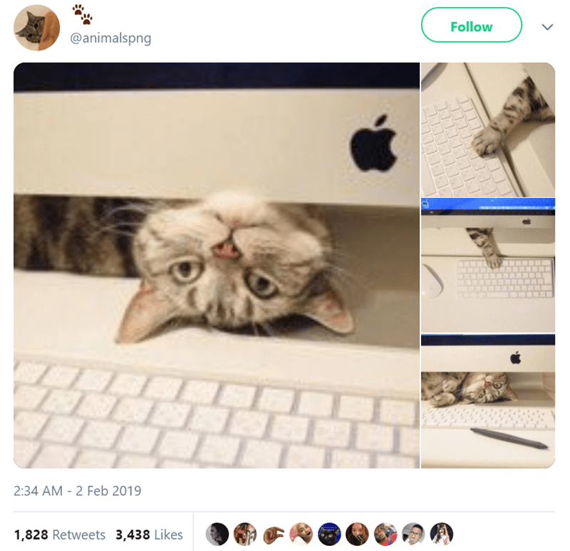 Cat - @animalspng Follow LL 2:34 AM - 2 Feb 2019 1,828 Retweets 3,438 Likes