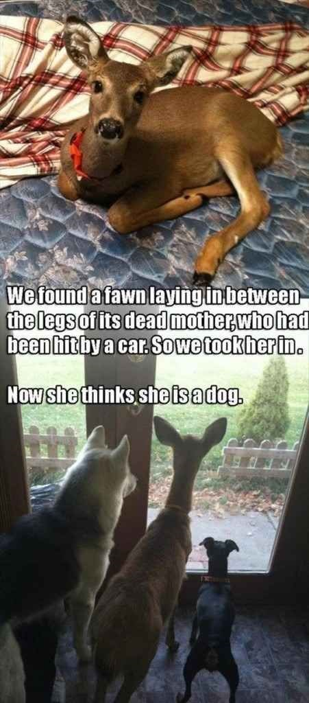 wholesome meme - Cat - Wefound afawnlaying in between the legs of its dead motherwho had been hit by a car.Sowe tookher in. Now she thinks she is adog.