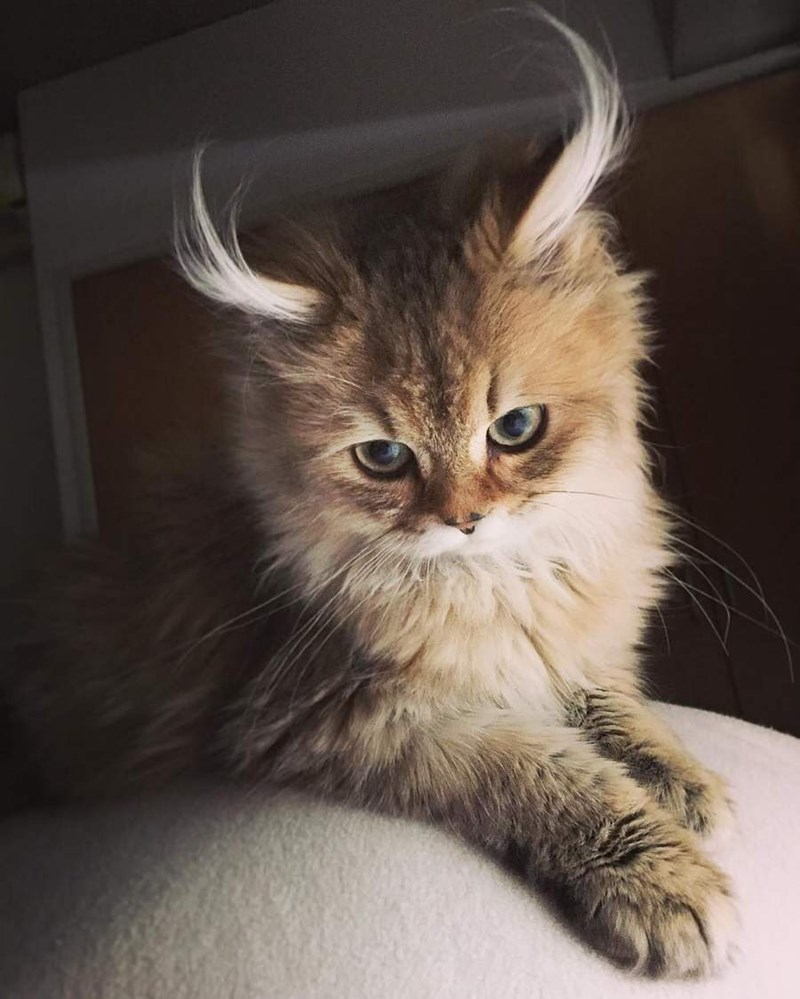 cute cat with the fur near its ears going up
