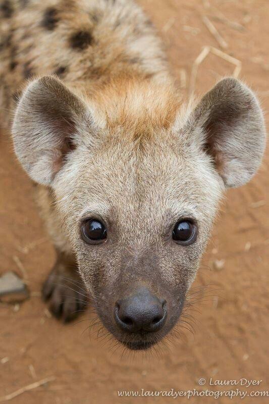 cute animals - Hyena - Laura Dyer www.lauradyerphotography.com