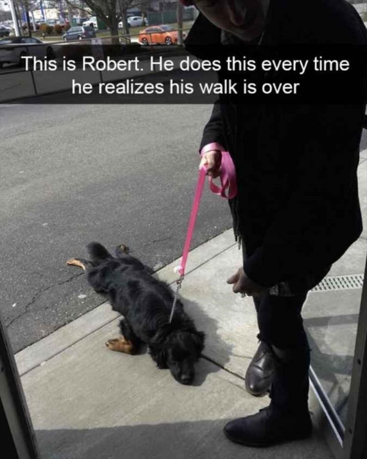 Dog - This is Robert. He does this every time he realizes his walk is over