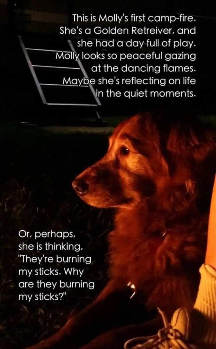 """Canidae - This is Molly's first camp-fire. She's a Golden Retreiver, and she had a day full of play. Molly looks so peaceful gazing at the dancing flames. Maybe she's reflecting on life in the quiet moments. Or, perhaps, she is thinking, """"They're burning my sticks. Why are they burning my sticks?"""""""