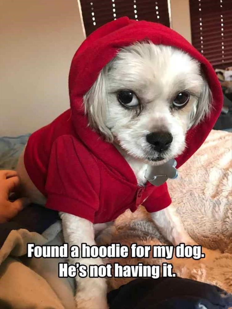 Dog - Found a hoodie for mydog. He's not having it.
