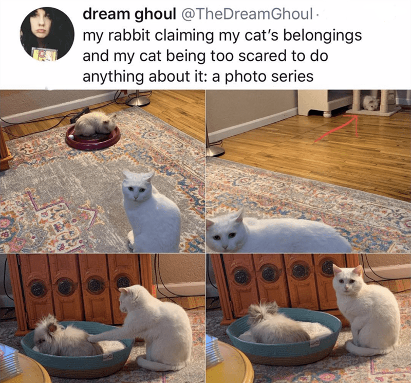 Cat - dream ghoul @TheDreamGhoul my rabbit claiming my cat's belongings and my cat being too scared to do anything about it: a photo series