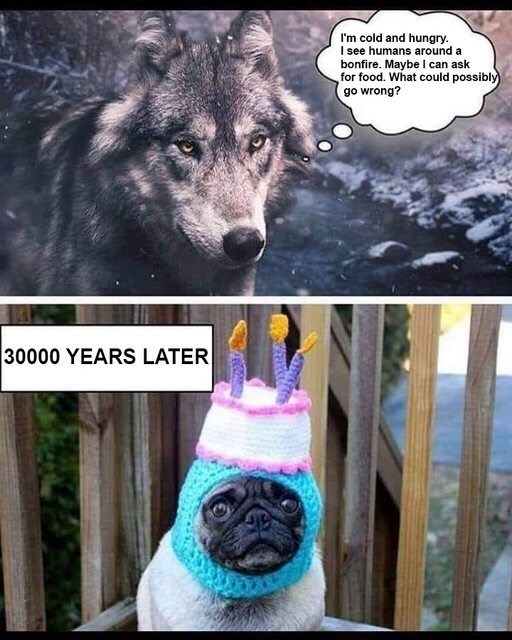 """Pic of a wolf with thought bubble that reads, """"I'm cold and hungry. I see humans around a bonfire. Maybe I can ask for food. What could possibly go wrong?"""" above text that reads, """"3,000 years later"""" above a pic of a pug wearing a birthday cake hat"""
