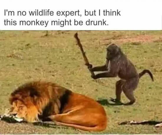 Vertebrate - I'm no wildlife expert, but I think this monkey might be drunk.