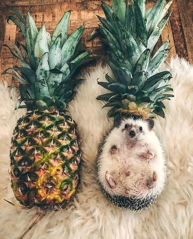 cute porcupine and a cute big eared animal - Pineapple