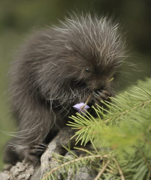 cute porcupine and a cute big eared animal - New World porcupine