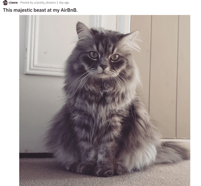 airbnb pet - Cat - r/aww Posted by u/pretty_dreams 1 day ago This majestic beast at my AirBnB.