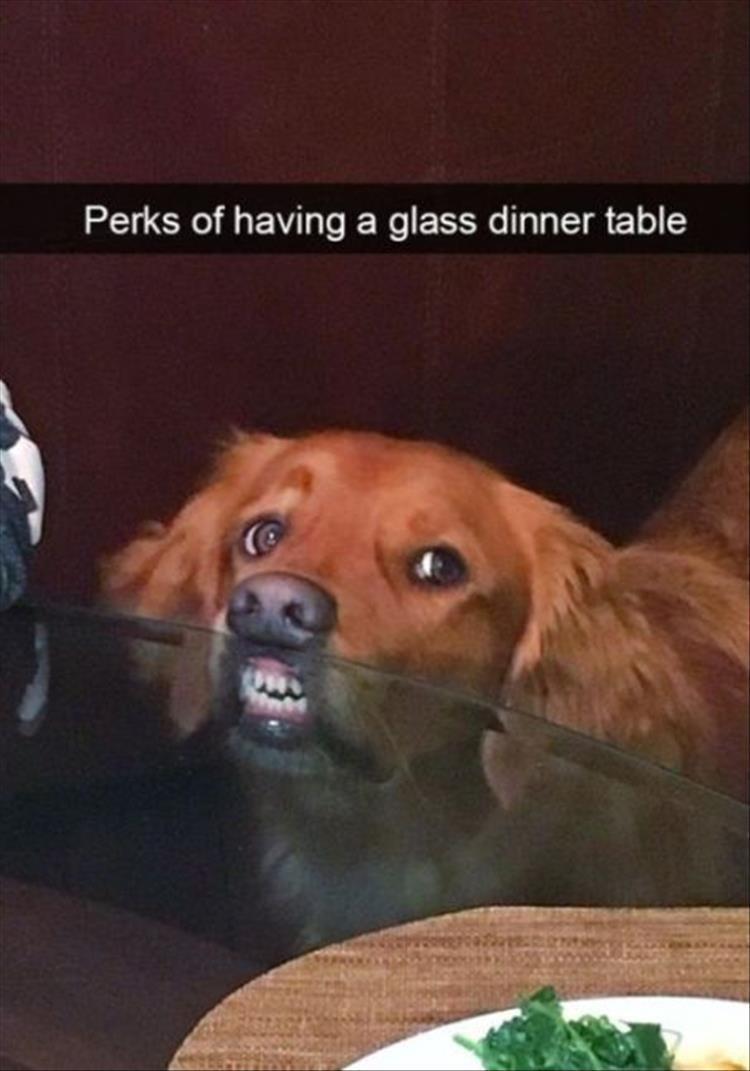 dog meme - Dog - Perks of having a glass dinner table