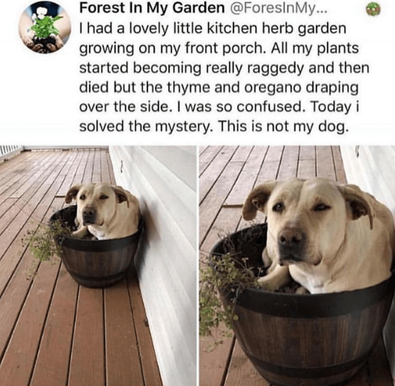 dog meme - Dog breed - Forest In My Garden @ForeslnMy... I had a lovely little kitchen herb garden growing on my front porch. All my plants started becoming really raggedy and then died but the thyme and oregano draping over the side. I was so confused. Today i solved the mystery. This is not my dog.