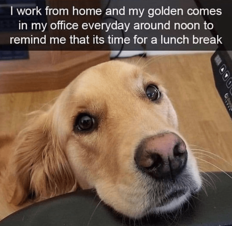 dog meme - Dog - I work from home and my golden comes in my office everyday around noon to remind me that its time for a lunch break