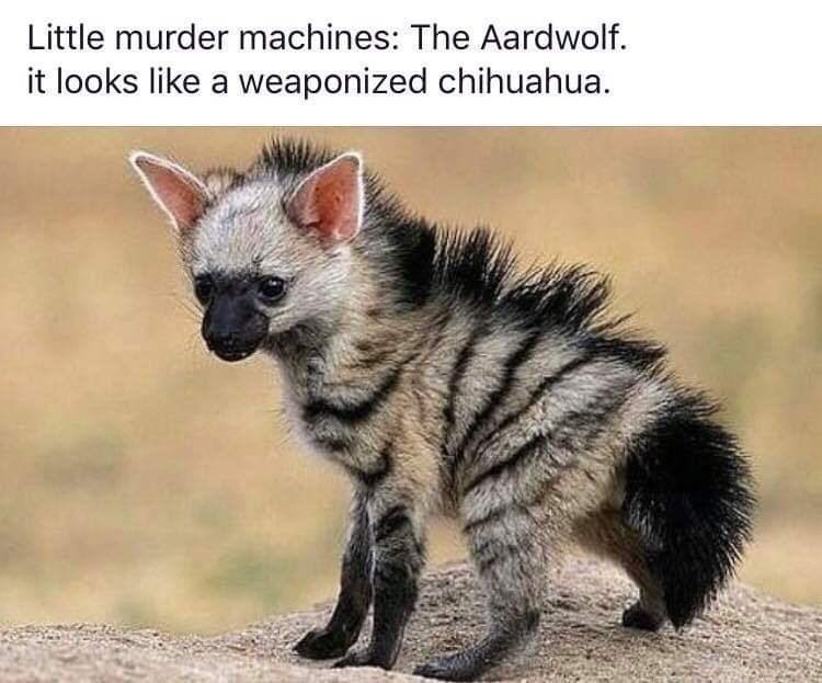 Vertebrate - Little murder machines: The Aardwolf. it looks like a weaponized chihuahua.