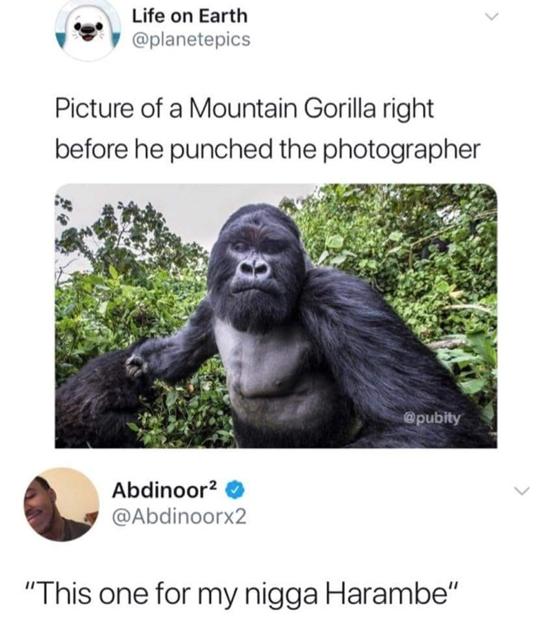 """Vertebrate - Life on Earth @planetepics Picture of a Mountain Gorilla right before he punched the photographer @pubity Abdinoor2 @Abdinoorx2 """"This one for my nigga Harambe"""""""
