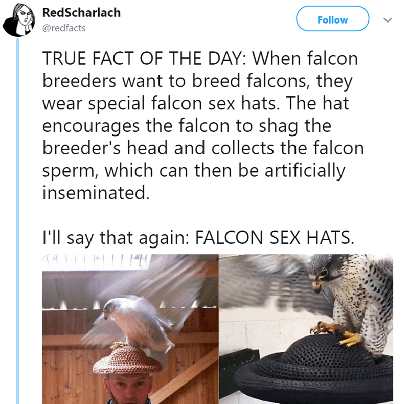 Font - RedScharlach Follow @redfacts TRUE FACT OF THE DAY: When falcon breeders want to breed falcons, they wear special falcon sex hats. The hat encourages the falcon to shag the breeder's head and collects the falcon sperm, which can then be artificially inseminated. I'll say that again: FALCON SEX HATS.