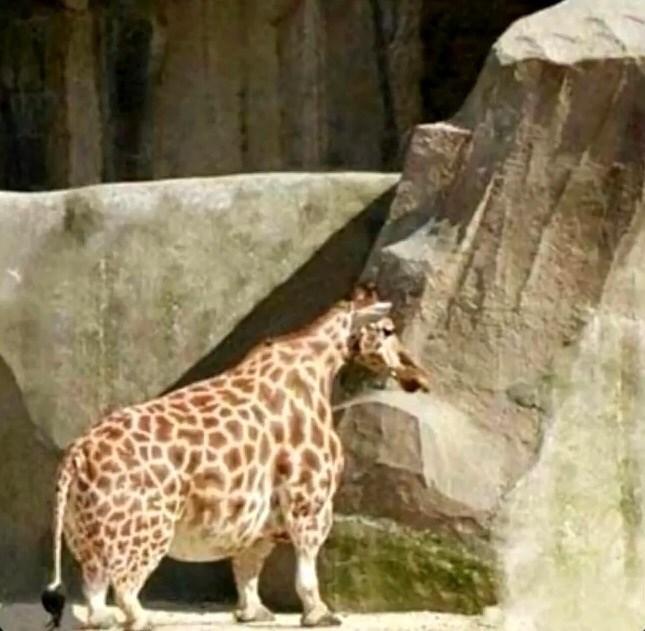 cursed image - Terrestrial animal giraffe
