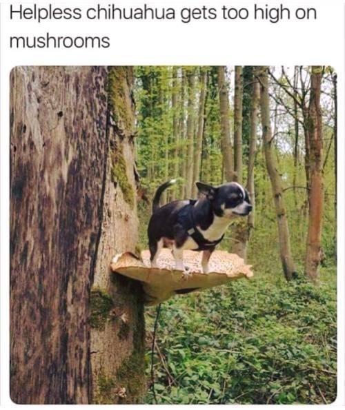 Tree - Helpless chihuahua gets too high on mushrooms